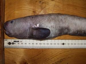 ugly-fish
