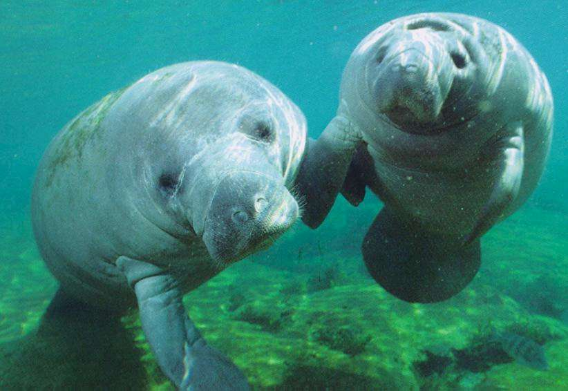 about manatees Manatee factsheet what is a manatee manatees belong to the order sirenia that also includes the dugong and the extinct steller's sea cow three species of manatee.