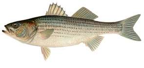Can you name the state fish of hawai i for Maryland state fish